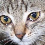 причины и лечение слезотечения у домашнего питомца