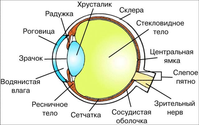 анатомия глазного яблока