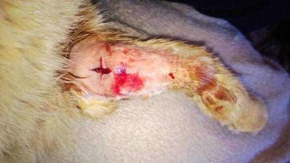 симптомы абсцесс у котов