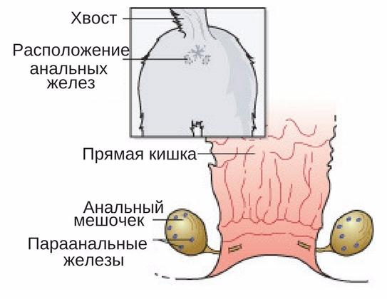 функция анальных желез