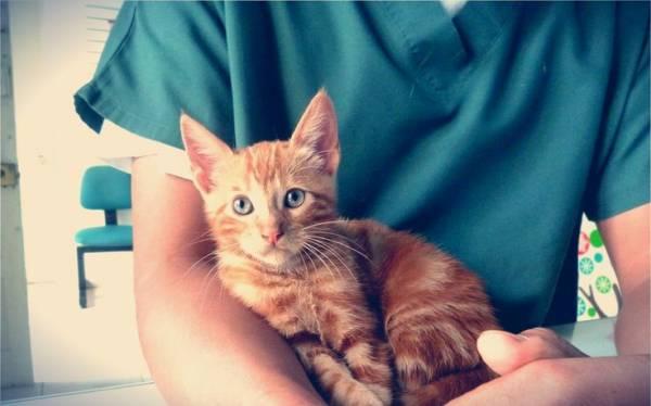 причины и лечение флегмоны у кошки