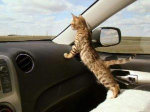 как пережить переезд с кошкой