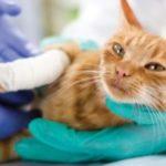 причины хроматы у кота