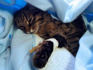 осложнения после заглатывания инородного тела кошкой