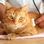 диагностика и лечение заболеваний мочевого пузыря у кошек