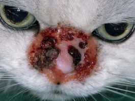 лечение дерматита у кошки