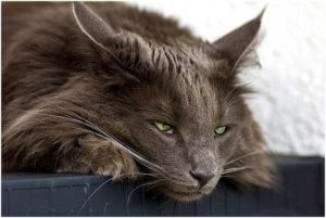 апатия и вялость у кошки