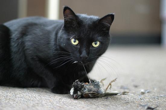 причины заражения кошек