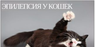 причины и лечение эпилепсии у кошек