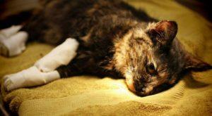 симптомы и методы лечения остеомиелита у кошек