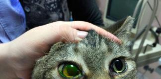 причины и лечение язвы роговицы у кошки