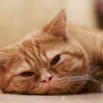 причины и симптомы анемии у кошек