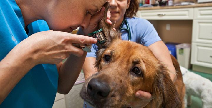 отоскопия уха у собаки