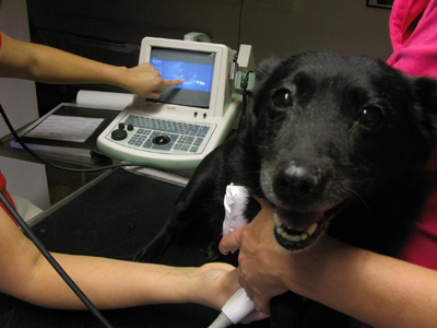 диагностика порока сердца у собаки