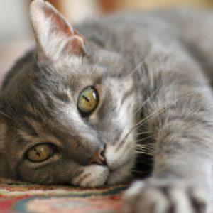 симптомы иммунодефицита у кошки