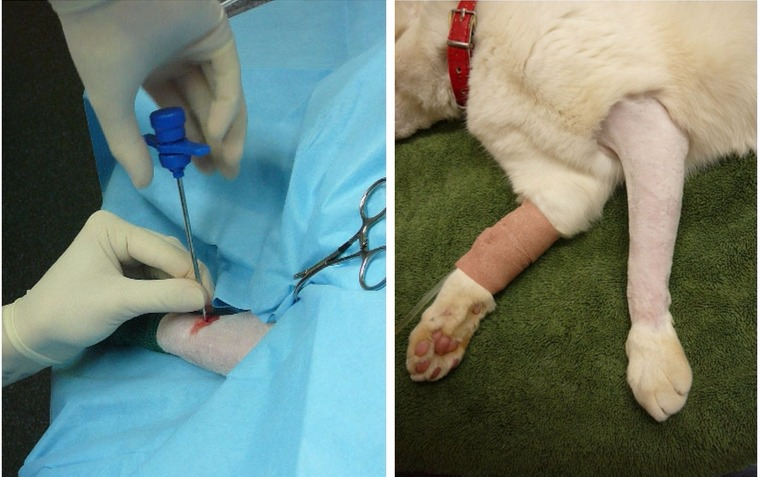 остеомиелит у кошек