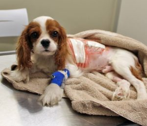 лечение порока сердца у собаки