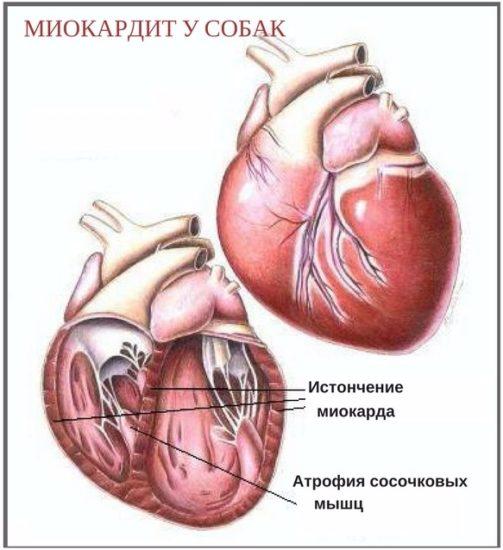 причины пороков сердца у собак