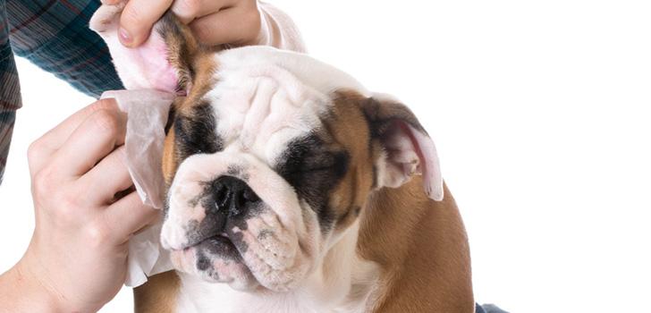 лечение отита у собаки дома