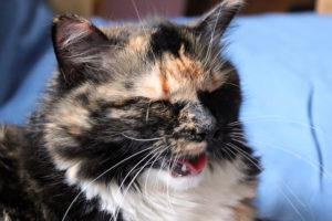 симптомы инфаркта миокарда у кошки