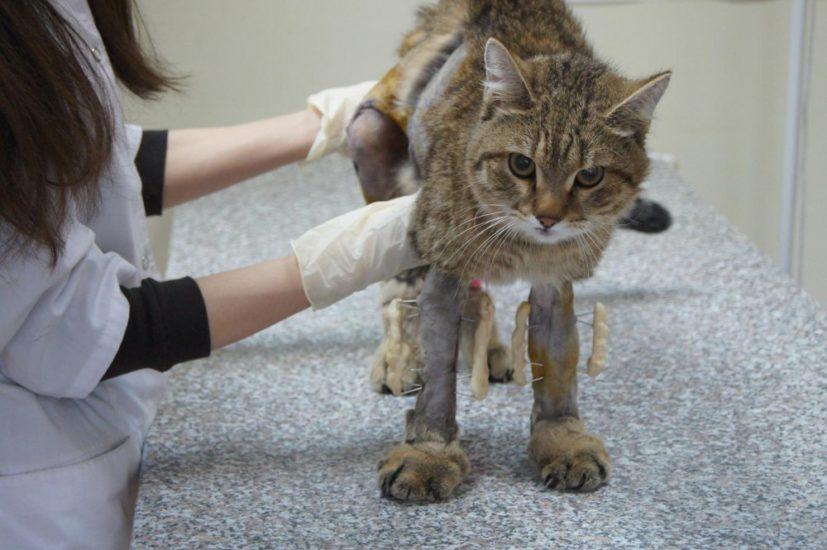 причины остеомиелита у кошек