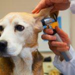 диагностика отита у собаки
