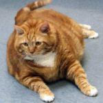 причины ожирения у кошки