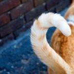 диагностика и лечение перелома хвоста у кошек