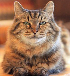 причины артрита у кошек