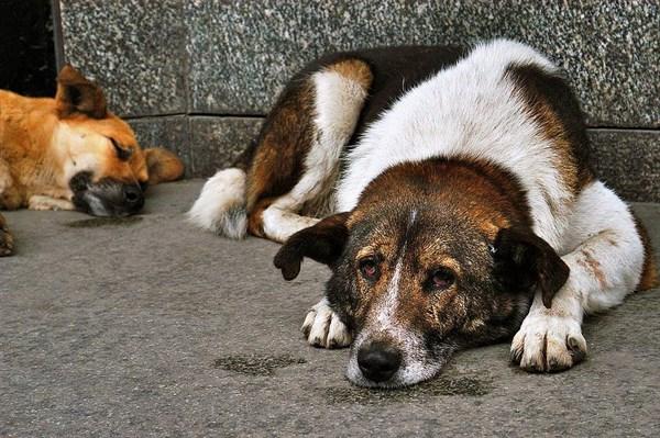 опасность бездомных собак