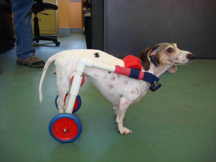 лечение заболеваний позвоночника у собак