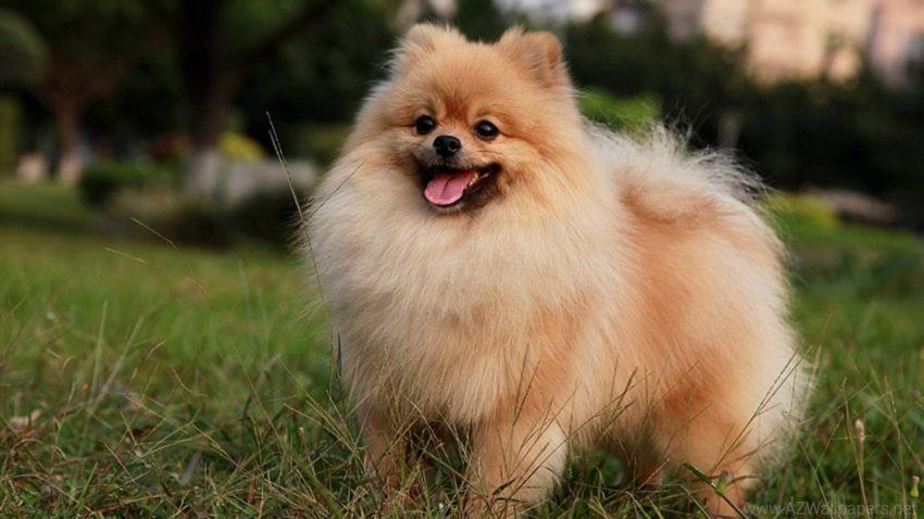 собака компаньон