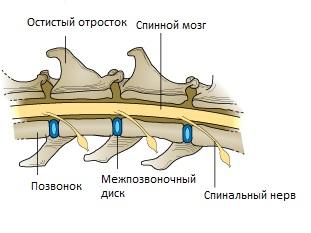 анатомия позвоночника у собак