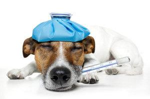 противопоказания к вакцинации собак