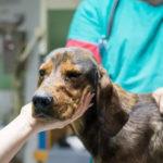 лечение и восстановление собаки после инсульта