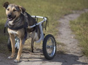 лечение перелома позвоночника у собаки