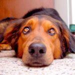 лечение кандидоза у собак