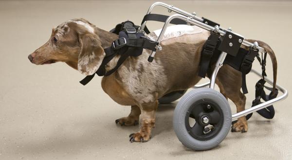 реабилитация собаки после перелома позвоночника
