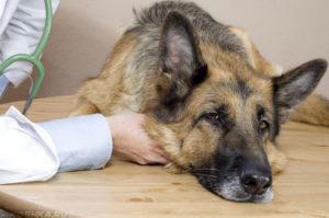 лечение сниженного иммунитета у собак