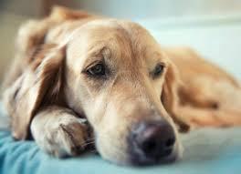 остеомиелит у собак симптомы