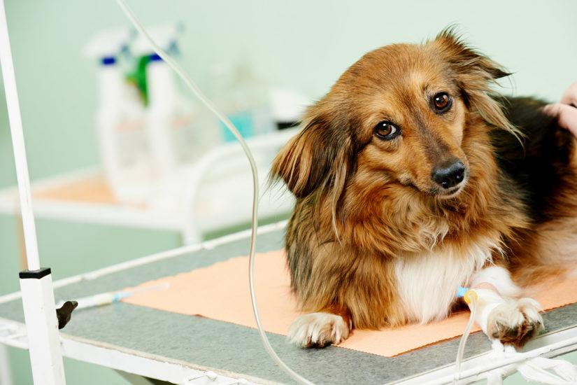 лечение инфаркта у собаки