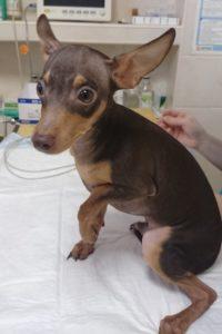 лечение перелома лапы у собаки