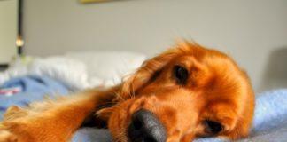 диагностика и лечение бронхита у собак