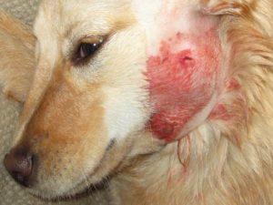 причины лихорадки у собак