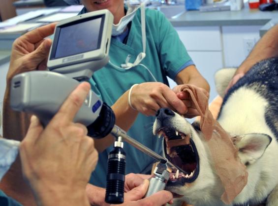 диагностика ларингита у собак