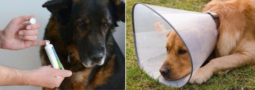гнойниая рана у собак