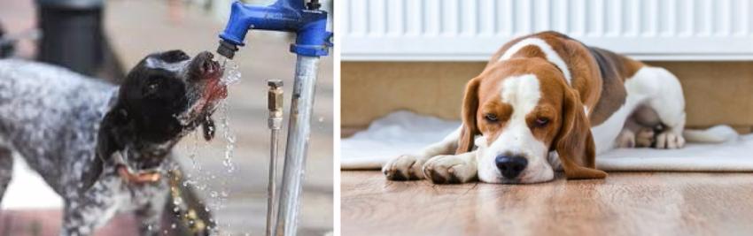 симптомы почечной недостаточности у собак