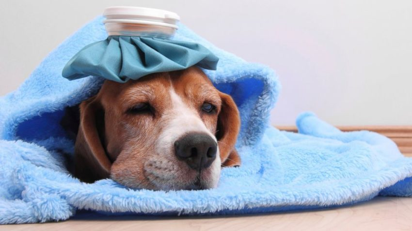 лихорадка у собак