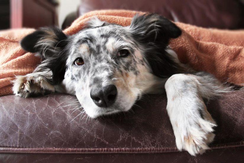 ларингит у собак