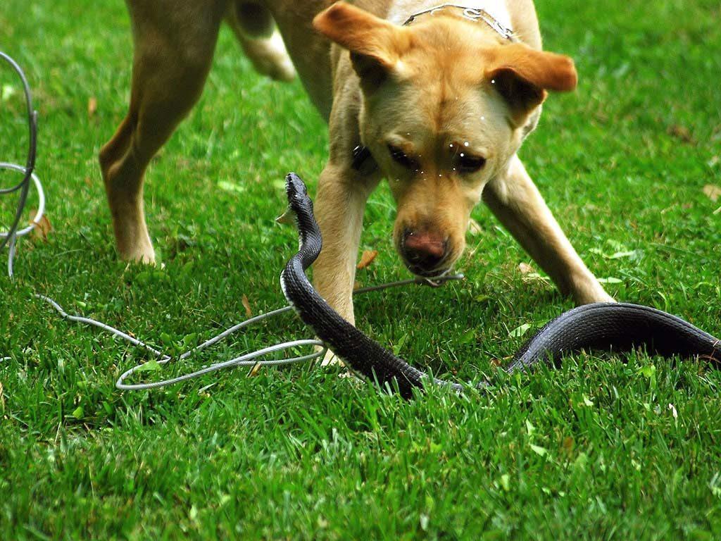 шок у собаки
